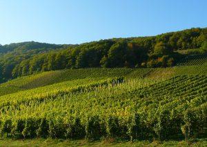 vineyard-289312_640